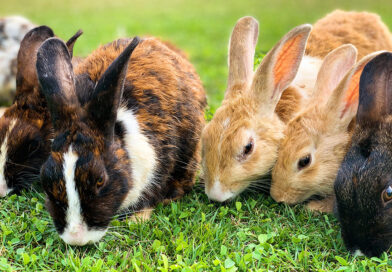 Rabbits as a Sustainable Food Source